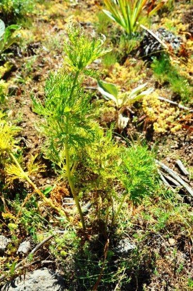 Giresun'da 'kandamlası' bitkisi 150 yıl sonra yeniden görüldü