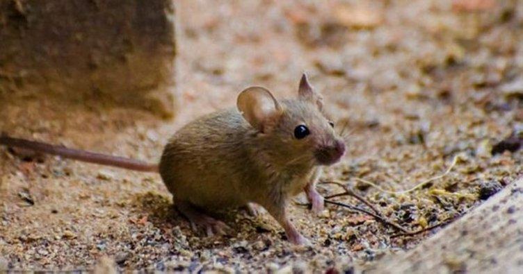 Rüyada Fare Görmek ve Öldürmek Ne Anlama Gelir? Rüyada fare görmek, yakalamak ve kovalamak nedir, neye işarettir?