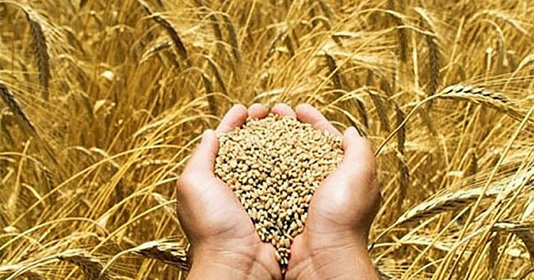 Edirne'de verimi artan buğday yüzleri güldürüyor