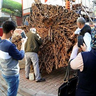 500 yıllık ağaç kökünü sergiliyor