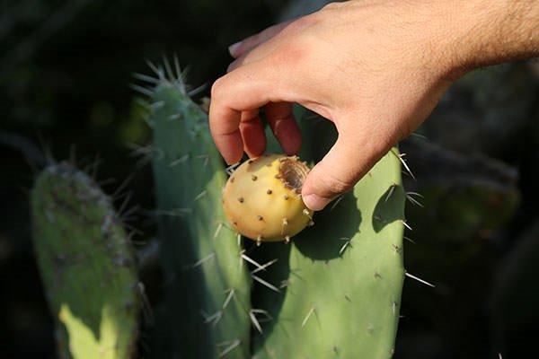 Dikenli incirin zahmetli hasadı