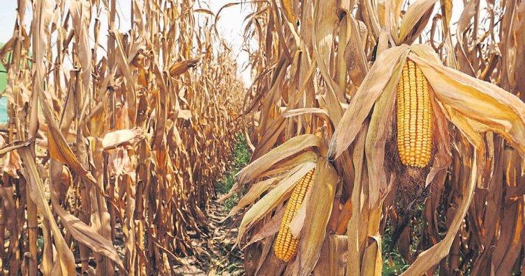 Havalar şaşırdı hasatlar karıştı