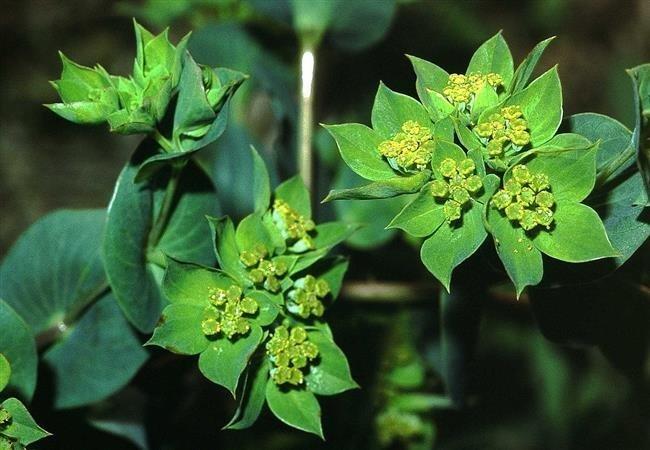 Çinlilerin kullandığı en yaygın olan 10 şifalı bitki!