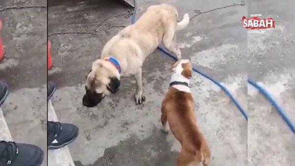 Köpek dövüştüren 3 kişiye 50 bin TL para cezası | Video