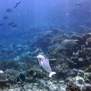 Robot balık mercan resiflerinde göreve başladı