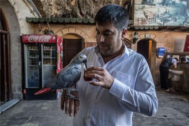 İsot yiyen papağan görenleri hayrete düşürdü