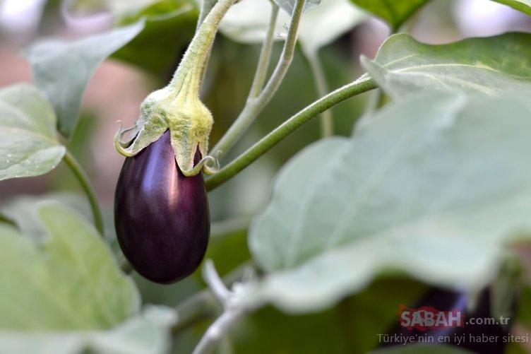 Mucize besin patlıcanın sapını sakın çöpe atmayın! Patlıcan sapı o hastalığa derman oluyor!
