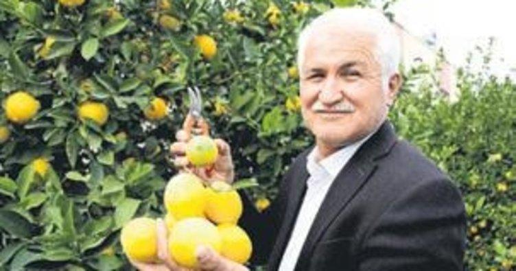 Erdemli limonu dalında satılıyor