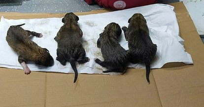 Kastamonu'da kanala düşen 4 köpek yavrusu kurtarıldı