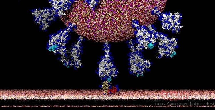 İlk kez bu kadar net görüntülendi! İşte koronavirüsün insan hücresine girdiği an...