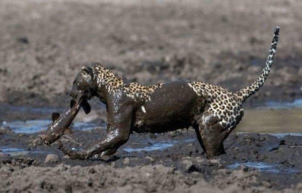Leoparın avı!
