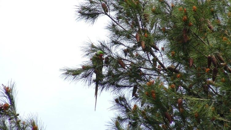 Avcılar'da ağaçlarda görülen papağanları mahalleli hayranlıkla izledi