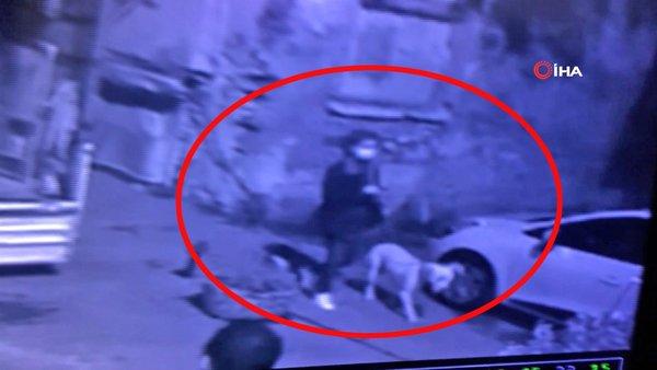 Son dakika! İstanbul'da vahşet! Zevk için köpeklerine kedileri parçalattıran cani ruhlu Amerikalı kadın kamerada | Video