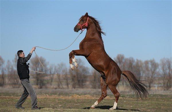 Şampiyon atlar burada yetişiyor