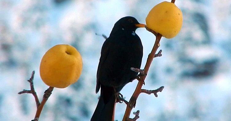 Kuru ağaç dallarına hayvanlar için 'elma' asıyor