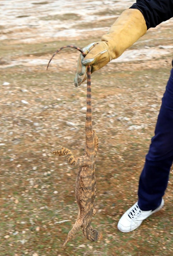 Şanlıurfa'da çöl varanı ölü bulundu