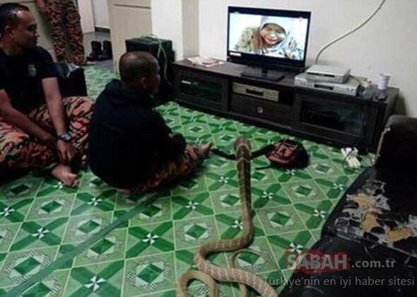 3 Metrelik kobra yılanıyla evlenen adamın yaşantısını görenler şok oluyor!