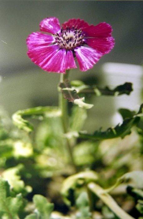 Nadide çiçekler