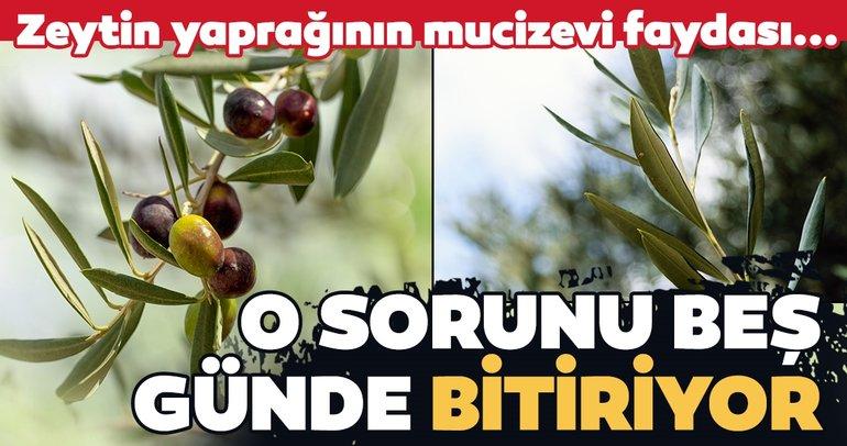 Zeytin yaprağı o sorunu beş günde bitiriyor!