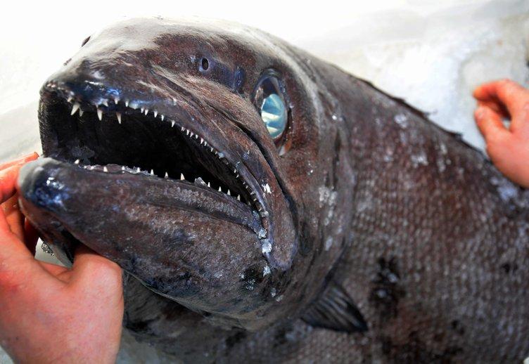 Muğla'da yağ balığı yakalandı