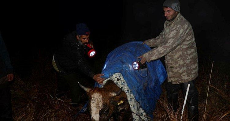 Muş'ta bataklıkta mahsur kalan mandalar kurtarılmaya çalışılıyor