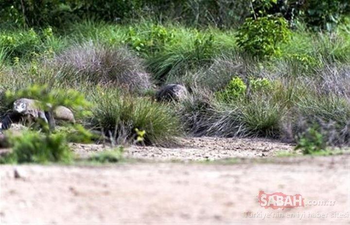 Komodo Ejderi'nin avlanma anı kare kare görüntülendi! Fotoğraflarla doğanın vahşi yüzü....