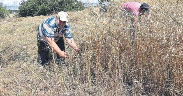 Buğday fiyatı 1 lira 66 kuruş oldu