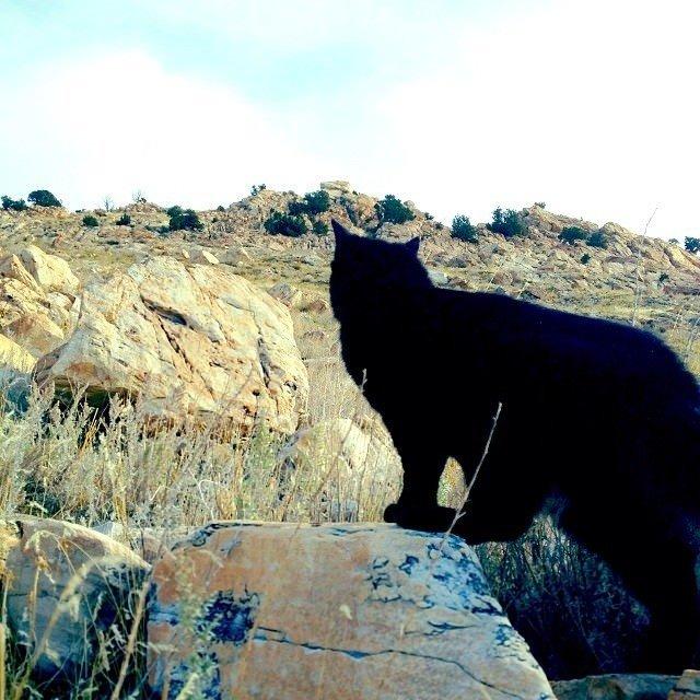 Dağların evcil kedisi