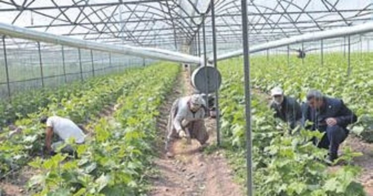 Kumluca'da tarım üretimi sürüyor