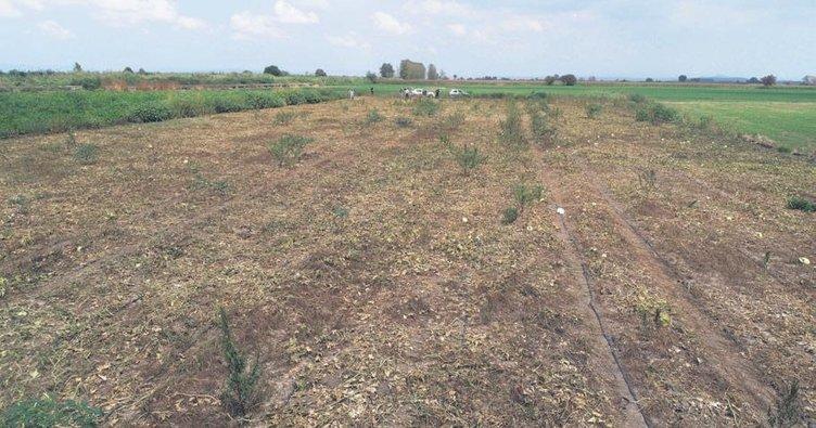 M. Kemalpaşa'da tarlalarda fare istilâsı