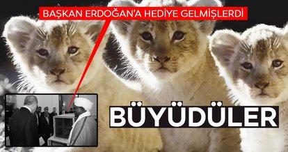 Cumhurbaşkanı Erdoğan'ın aslanlarına yoğun ilgi! Hediye edilen yavru aslanlar büyüdü