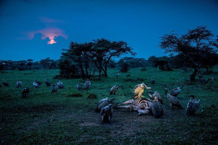 Vahşi yaşamın ürkütücü canlıları: Akbabalar