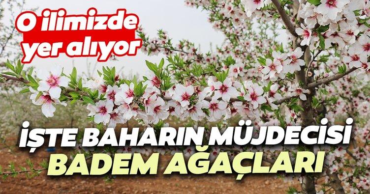 Adıyaman'da badem ağaçları çiçek açtı
