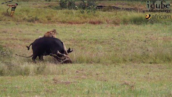 Aslanın vahşi doğada avı böyle görüntülendi