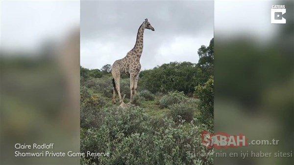 Acı ama gerçek! Aslanları gören zürafa yavrusunu...