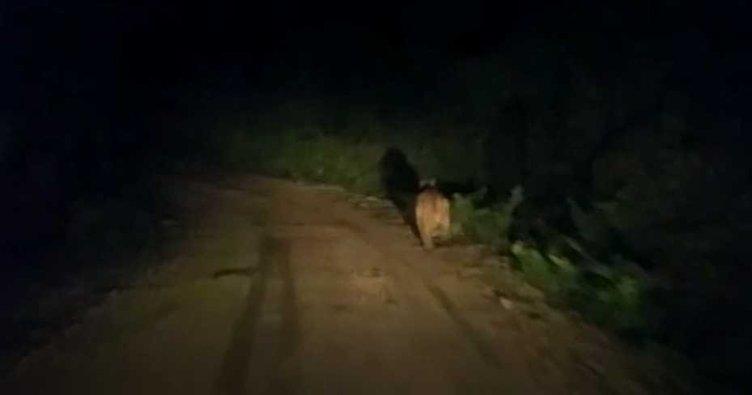Ayı, köy yolunda önüne çıkan aracı taşladı!