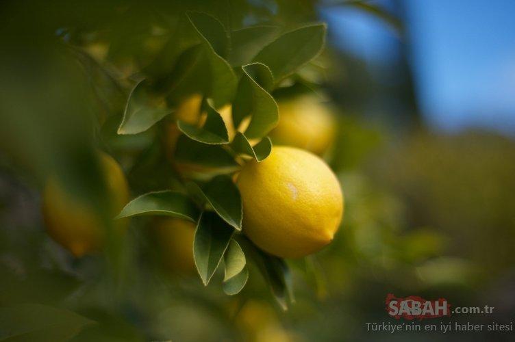 Vücutta yağ bırakmayan 5 günde 3 kilo verdiren mucizevi limon diyeti