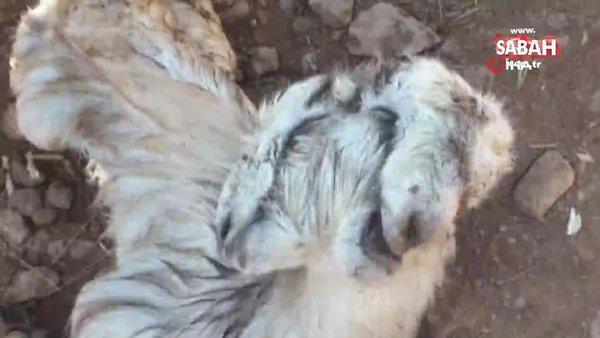 Osmaniye'de çift başlı doğan oğlak görenleri şaşkına çevirdi   Video
