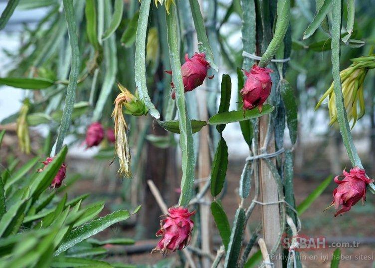 Tanesi 15 lira! Ejder meyvesi Pitaya üreticiye umut oldu