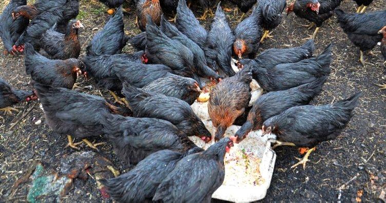 Rüyada tavuk görmek nasıl yorumlanır? Rüyada tavuk yemek ve tavuk eti görmek neye işarettir?