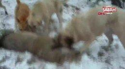 Karabük'te çoban köpekleri, sürüye saldıran kurdu böyle parçalayarak öldürdü