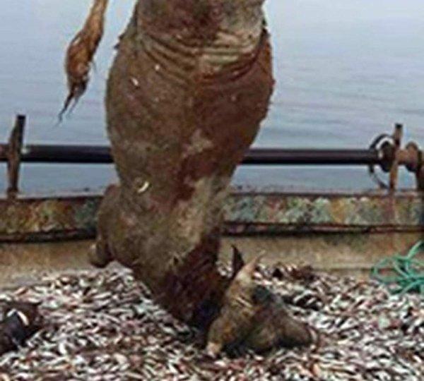 Balıkçı ağlarına takılan 700 kiloluk dana şaşırttı