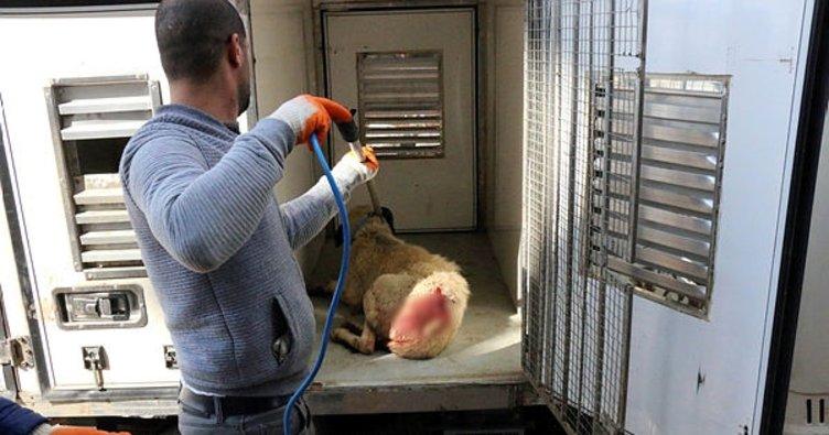 Yavrularıyla gezen köpeği pompalı tüfekle yaraladı