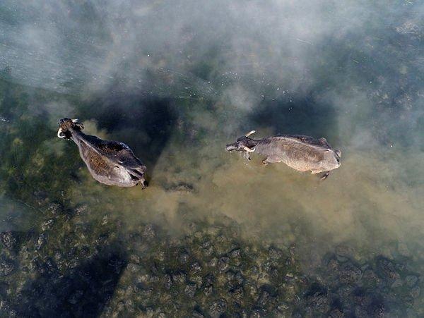 Mandalar dondurucu suyun altındaki otla besleniyor
