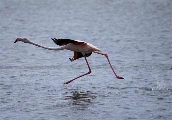 Flamingolar uçuşa hazırlanıyor