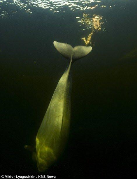 1.5 derece suda çırılçıplak balinalarla yüzdü!