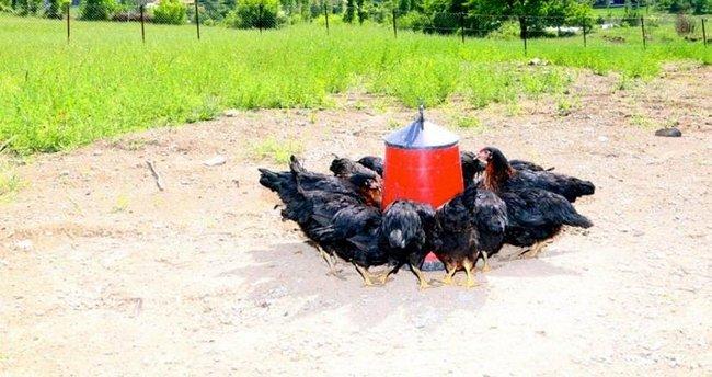 Artık teröristler değil tavuklar geziyor