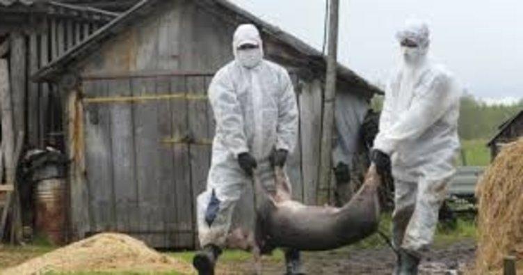 Almanya'da Afrika domuz vebası salgını endişesi