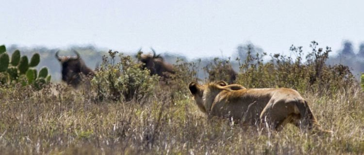 Antilop beklenmeyeni yaptı! Şaşırtan anlar...