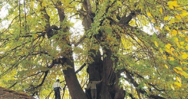 Bin yıllık 3 ağaca koruma